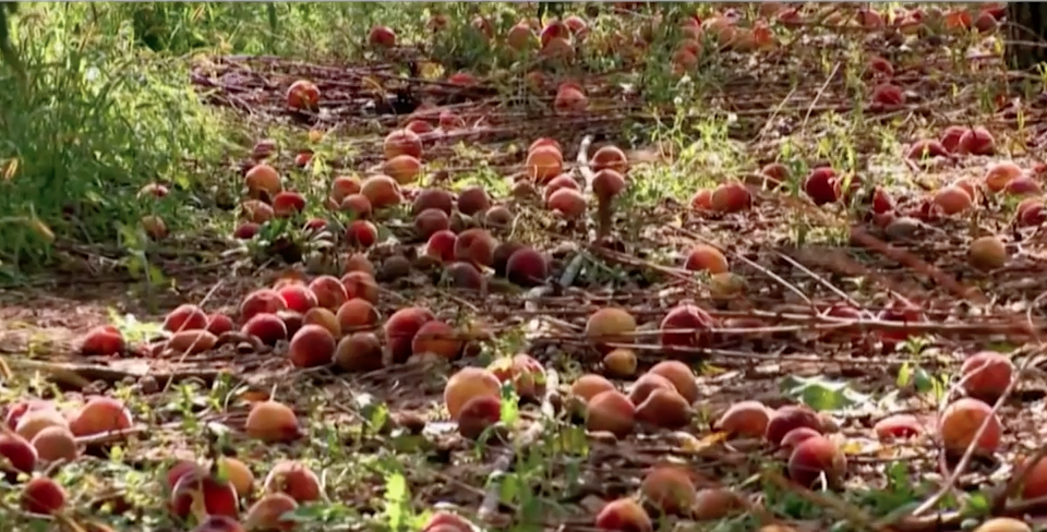 Fruit rejects in the field